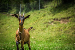 Goat on the green summer meadow Stock Photos