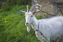 Goat on the green Royalty Free Stock Image