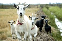 Goat Group Royalty Free Stock Image