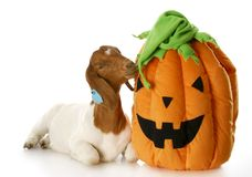 Goat and halloween pumpkin. Purebred south african boer doe Stock Photography