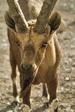 The goat has got hungry. A wild goat on a deserted mountain plateau of desert about the city of Eilat in Israel royalty free stock image