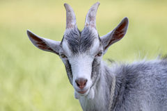 Goat head. Cute goat head isolated on green background Royalty Free Stock Photos