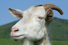 Goat head. Close up of a goat's head with a hill at the background Royalty Free Stock Photography