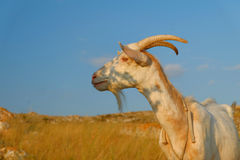 Goat head on the blue sky background Royalty Free Stock Images