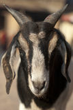 Goat Head Stock Images