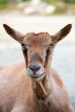 A goat head close-up. On a green meadow in mountains altai Royalty Free Stock Photography