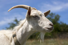 Goat head close-up. Against the sky Royalty Free Stock Photos