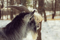 Goat head close-up Royalty Free Stock Photos
