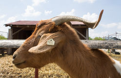 Goat head Stock Photography