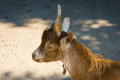 Goat head close-up. Stock Image