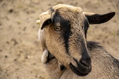 Goat head close-up photo, shallow dof. Goat with black stripes, head close-up photo, shallow dof stock photography