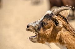 Goat head close up while shouting. In a farm Stock Photos