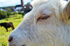 Goat head, a close up. A white goat head against the blurred background Stock Photo