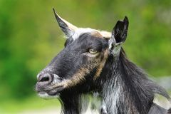 Goat head closeup. Over green out of focus background Royalty Free Stock Photo