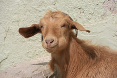 Goat. Head of a contented goat in tacir, iznik, turkey royalty free stock image