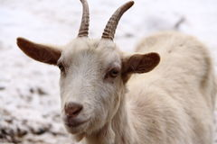 Goat head detail Royalty Free Stock Image