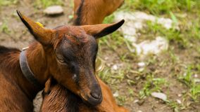 Goat head leaning on other goat royalty free stock photo