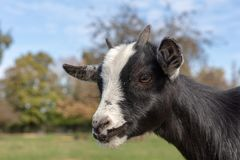 Goat head portrait in a Bavarian Wildlife Reserve. Goat head in a wildlife reserve in Bavaria royalty free stock images