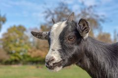 Goat head portrait in a Bavarian Wildlife Reserve. Goat head portrait in a wildlife reserve in Bavaria, Germany stock photography
