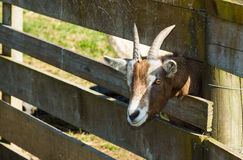 Goat Head. Goat putting his head through the wooden fence railing Royalty Free Stock Images