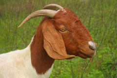 Goat Head & Shoulders Stock Images