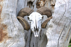 Goat head skull. And the tree Stock Photos