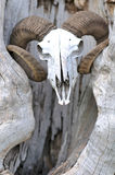 Goat head skull. And the tree Royalty Free Stock Photography