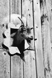 Goat head. Goat sticking its head out of the barn through a window Stock Photography
