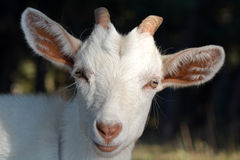 Goat head on a summer pasture Stock Images