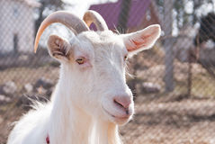 Goat head. White goat head close up Royalty Free Stock Images