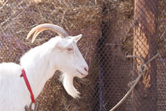 Goat head. White goat head close up Royalty Free Stock Image