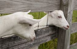 Goat Heads Stock Photography