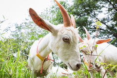 Goat. Healthy goat in farm from central of Thailand Stock Photo