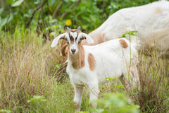 Goat. Healthy goat in farm from central of Thailand Royalty Free Stock Photos
