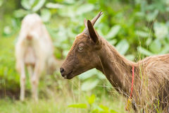 Goat. Healthy goat in farm from central of Thailand Stock Photography