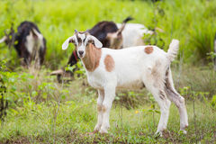 Goat. Healthy goat in farm from central of Thailand Royalty Free Stock Photo