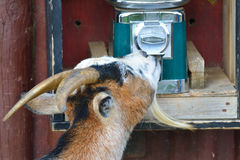 Goat Helping itself Stock Images