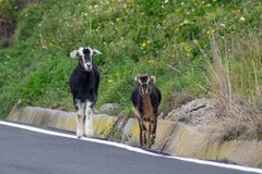 A goat with her calf walk on the edge of a road stock photos