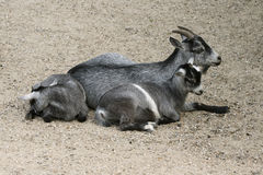 Goat and her child Royalty Free Stock Photos
