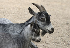 Goat and her child Royalty Free Stock Image