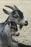 Goat and her child Stock Photos