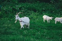 Goat with her cubs on the farm. Family of a mother and her children. Goats on family farm. Herd of goats playing.  Family  goats  on a green meadow. Herd of royalty free stock image