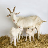 Goat and her kids Stock Photography
