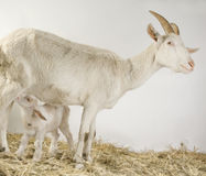 Goat and her kids Royalty Free Stock Photos