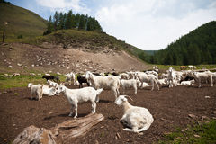 A goat herd in Altay, Russia stock photography