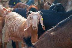 Goat in a herd Stock Photography