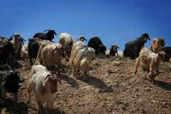 Goat Herd. A goat herd coming down a rocky hill royalty free stock photos