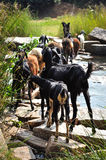 Goat herd. Crossing a river, Hampi (India Royalty Free Stock Photos