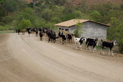 Goat herd on dirt road. Goat herd walking on dirt road Royalty Free Stock Image