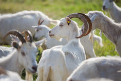 Goat in a herd Stock Photo
